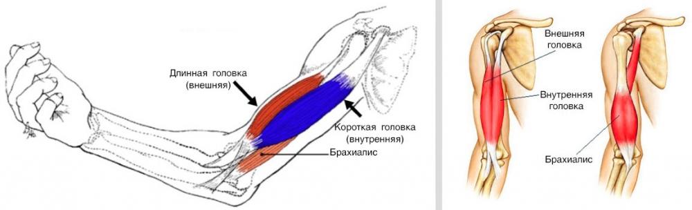 внешний пучок бицепса