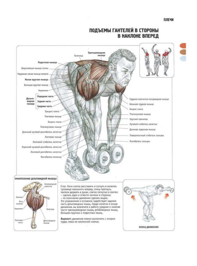 упражнения на заднюю часть плеча с гантелями