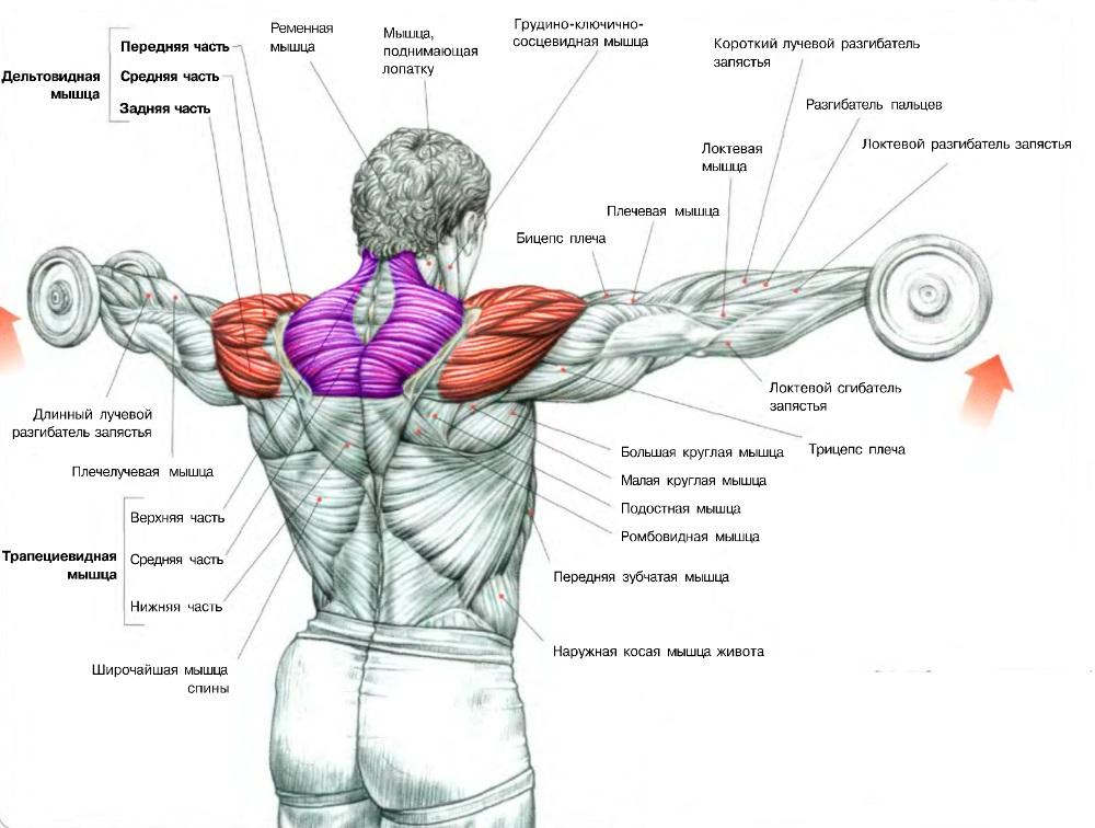 упражнения на мышцы плечей