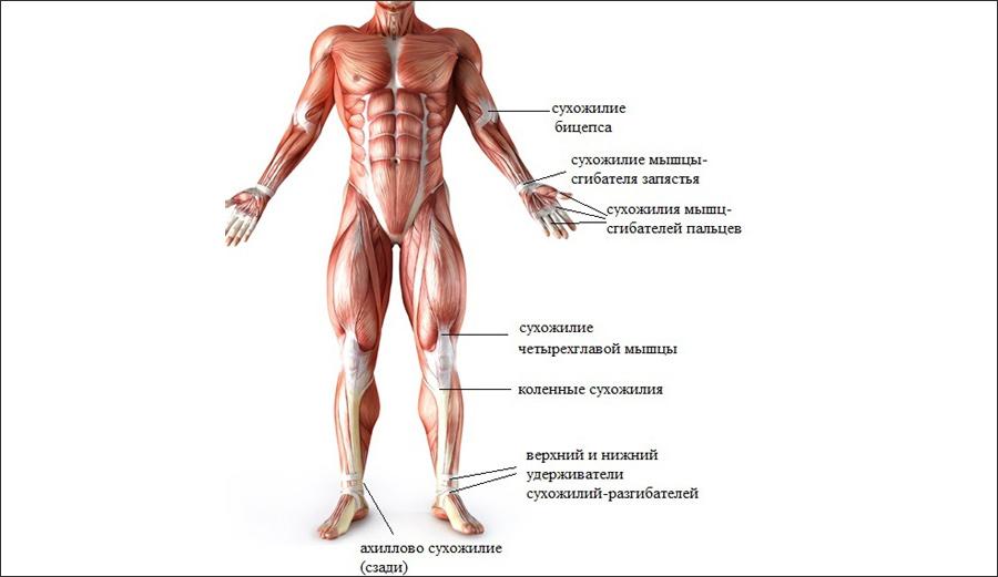 как накачать сухожилия