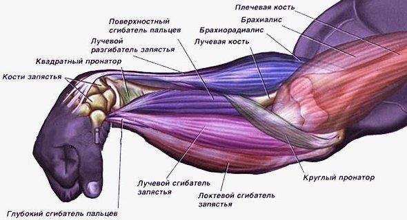 мышцы кисти руки как накачать