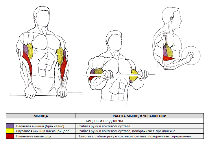 Подъем штанги на бицепс обратным хватом